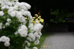 バラ園の小道