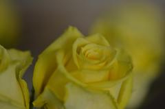 幸せの黄色いバラ 2