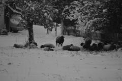 羊も寒そう