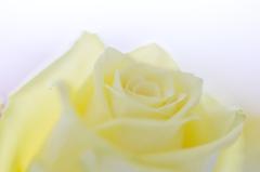 幸せの黄色いバラ〜♪