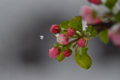 5月の雪1