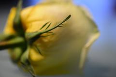 幸せの黄色いバラ 1