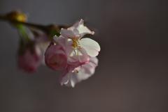 スイスの桜1