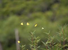 蝶の乱舞 1