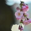 スイスの桜2