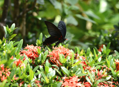 ボクを魅了するオキナワの蝶 2