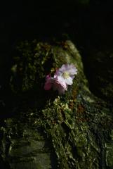 スイスの桜