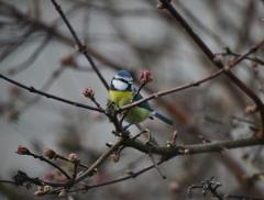 庭に来る小鳥たち2