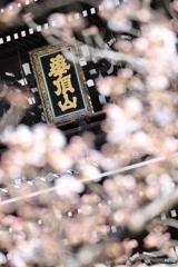 華頂山の桜