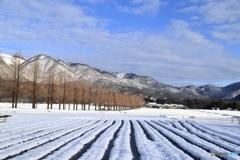 雪のメタセコイア