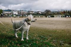 少年サッカーを見てる犬…