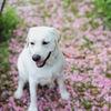 桜の絨毯…