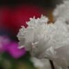 白いシクラメン-3
