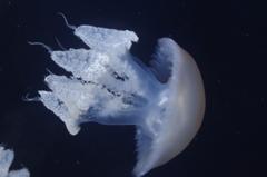 クラゲ水族館のルサーナジェリー