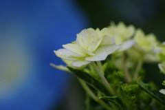 花散歩-紫陽花