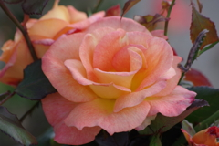 秋薔薇‐ケニギンベアトリックス