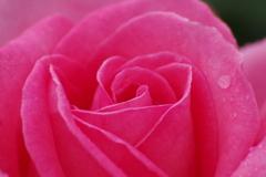 六月の薔薇-2