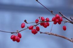 冬でも赤い実-山茱萸