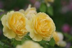 六月の薔薇-グラハムトーマス