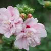 花散歩-八重のムクゲ