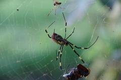 戻り路、女郎蜘蛛のペアに出会った