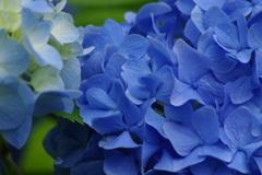 野草園-紫陽花のブルー