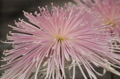 菊花スプラッシュ-2