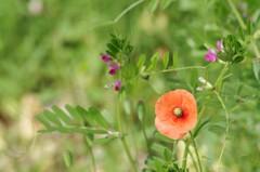 花散歩‐草むらのナガミヒナゲシ