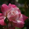 それでも薔薇は咲く-1