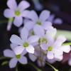 花散歩-オキザリス