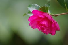 花散歩-山茶花が咲いた1