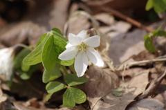 春の忘れ物‐深山片喰