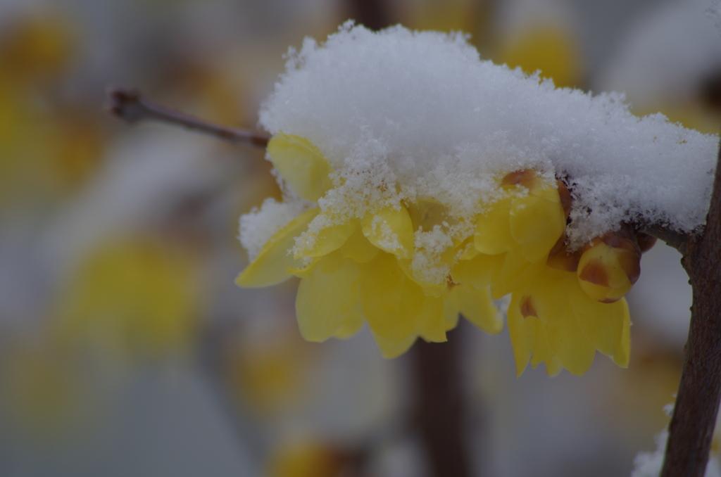 蝋梅に雪‐春はまだまだ遠い-4