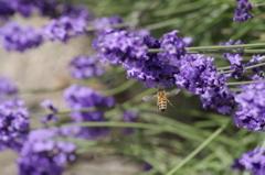 2018.6.14の花散歩‐ラベンダーさん蜜くださいな。。