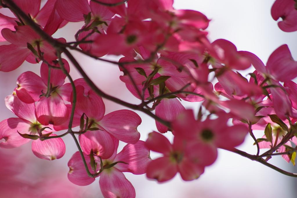 花散歩-花水木