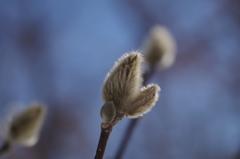 春を待つコブシ-3