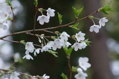 花散歩-白い山桜