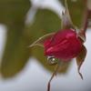 雪中散歩-薔薇の蕾