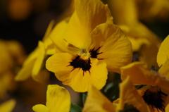 春を待つ心‐パンジー黄