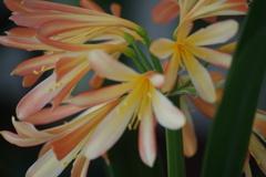 春を待つ心‐君子蘭2