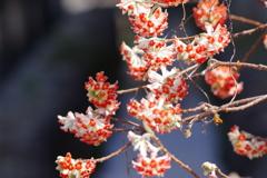 花散歩‐ミツマタの赤花