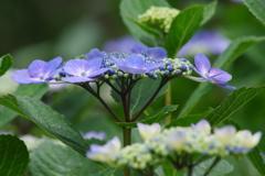 六月の花散歩‐紫陽花2