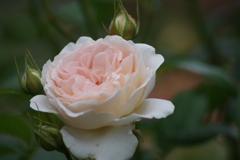 六月の薔薇-セバスチャン クナイブ