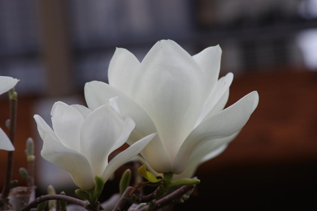 春を待つ心-白木蓮