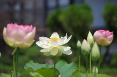 蓮の花が咲いた