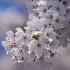 花散歩-染井吉野満開