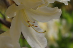 ツツジ日和-薄黄の蕊