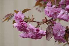 花散歩-八重桜
