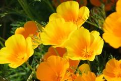 花散歩-カリフォルニアポピー