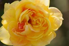 秋薔薇‐キャラメルアンティーク